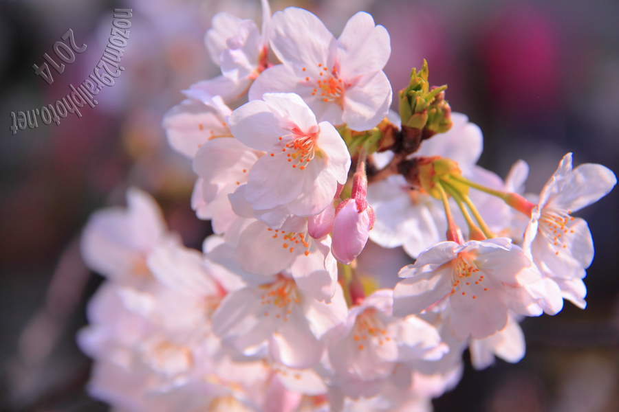 sakura-megurogawa_04_