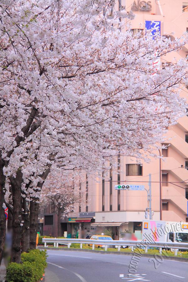 sakura-meijidori_06_