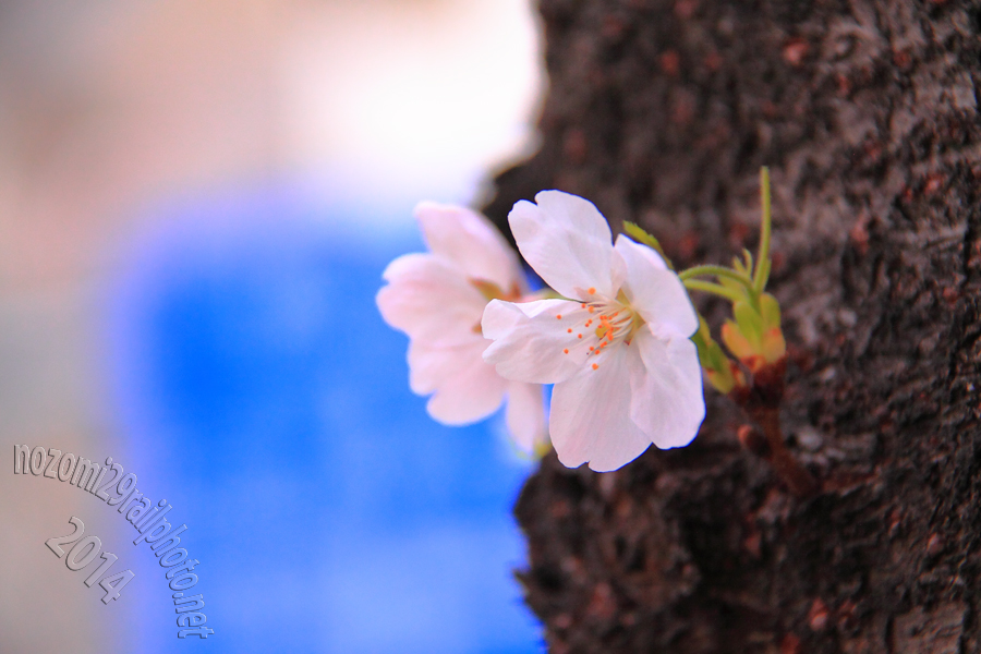 sakura-meijidori_07_
