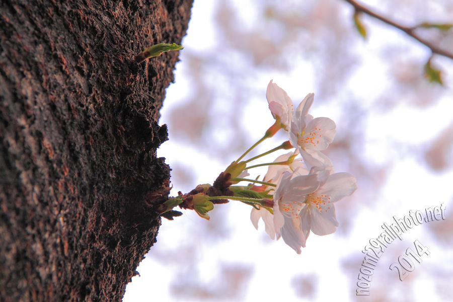 sakura-meijidori_09_