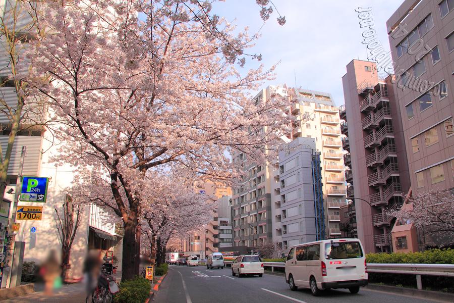sakura-meijidori_10_